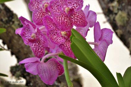 3ª Feira - Exposición Internacional de Orquídea ( (33)