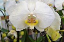 3ª Feira - Exposición Internacional de Orquídea ( (5)
